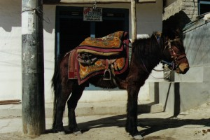 Tibet Horses 2