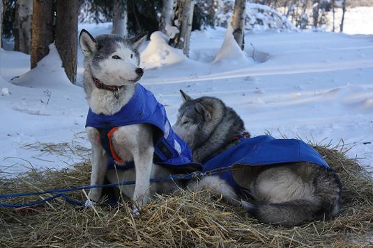 vela huskies