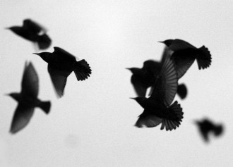 brighton-starlings